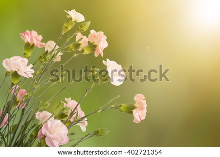 Mothers day flower with Blooming carnation flowers.   - stock photo