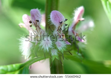 Motherwort Flower - Leonurus cardiaca - stock photo