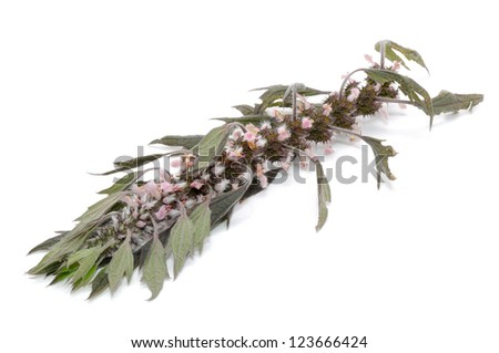 Motherwort (Leonurus Cardiaca) Isolated on White Background - stock photo