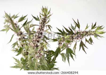Motherwort, Leonurus Cardiaca, on a white background - stock photo