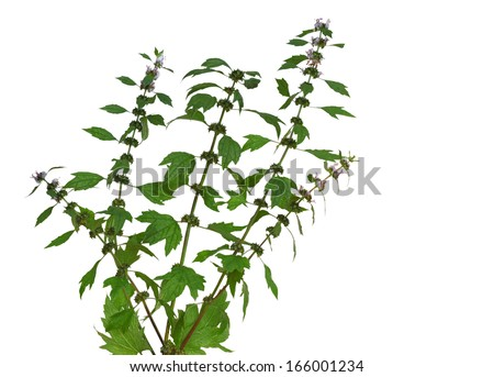Motherwort (Leonurus cardiaca)  wild flower plant isolated on white - stock photo