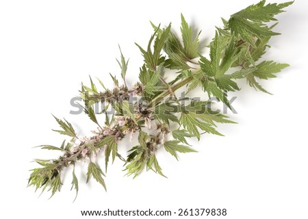 Motherwort on a white background - stock photo