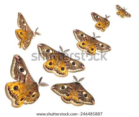 Moths (Saturnia pavoniella) flying isolated on white
