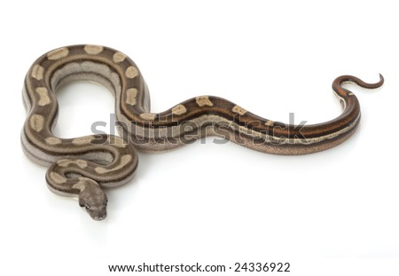 Motley Columbian Red-tailed Boa (B. c. constrictor) isolated on white background. - stock photo