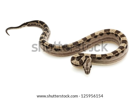 motley Columbian red-tailed boa (Boa constrictor constrictor) isolated on white background. - stock photo