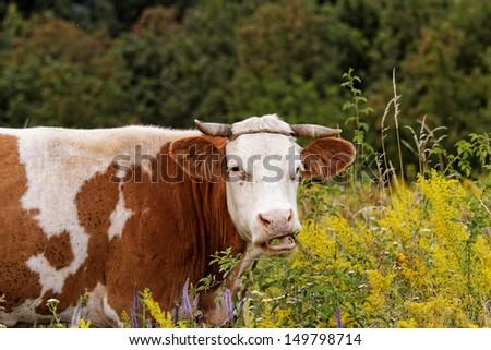 motley cow graze in a field (free range) - stock photo