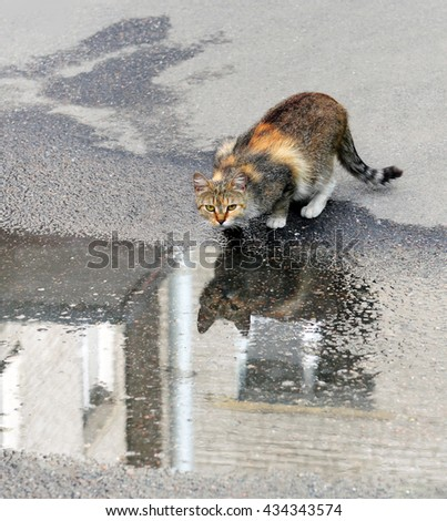 Motley homeless cat who drank water from  rain puddle on  sidewalk. The water surface reflects it and  wall of  house.