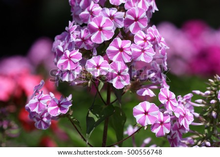 Motley white crimson flower of a phlox. Close up. Macro. Flower vegetable background horizontally