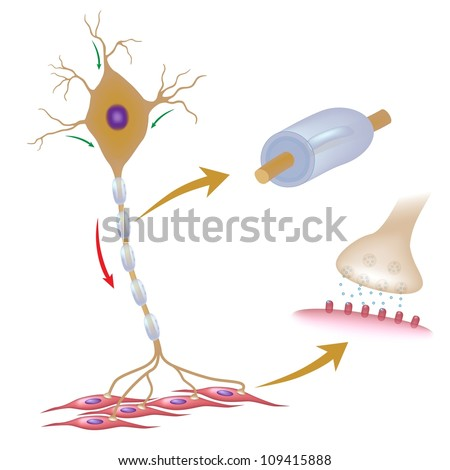 Motor neuron with details of myelin and synapse - stock photo