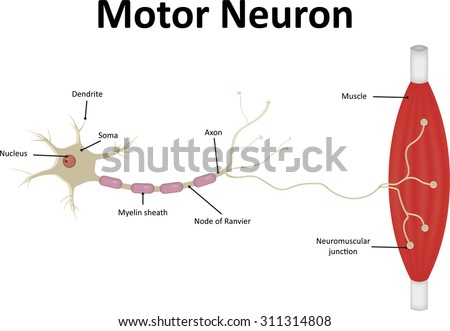 Motor Neuron Stock Images Royalty Free Images Vectors