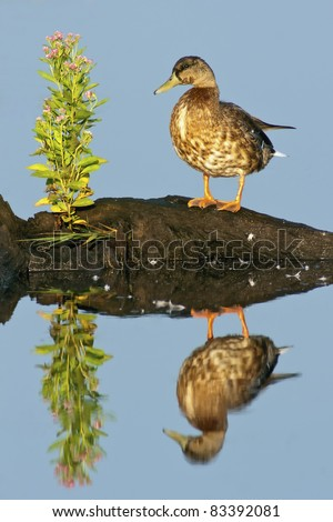 Mottled Duck (Anus fulvigula) with blue water background and reflection.