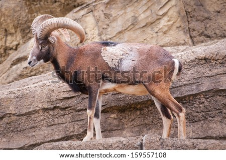 Moufflon on the cliff - stock photo
