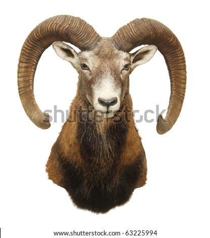 moufflon (Ovis musimon) hunting trophy with big horn isolated - stock photo