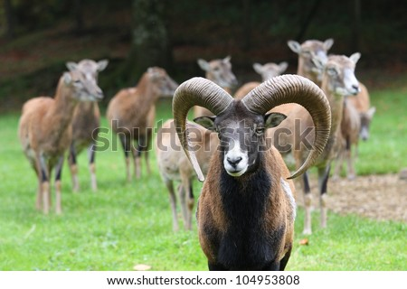 moufflons on natural background - stock photo