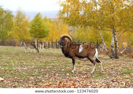 mouflon male standing in a glade in fall season - beautiful autumn forest background - stock photo
