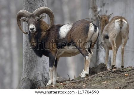 mouflon  Ovis musimon - stock photo