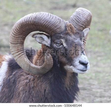 mouflon portrait, wild goat - stock photo