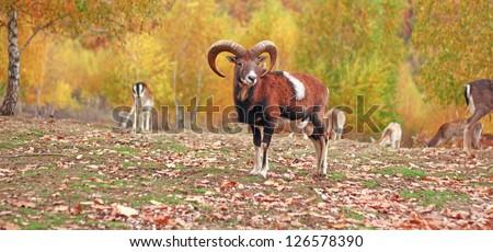 mouflon ram in autumn setting at an animal park - stock photo