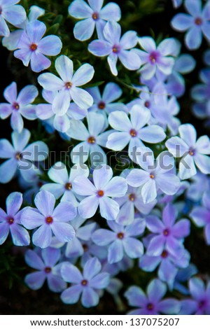 Mound of pale purple flowers on dark background