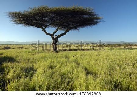 Mount Kenya and lone Acacia Tree at Lewa Conservancy, Kenya, Africa - stock photo