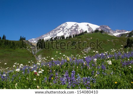 Mount Rainier with purple wildflowers in the summer at national park