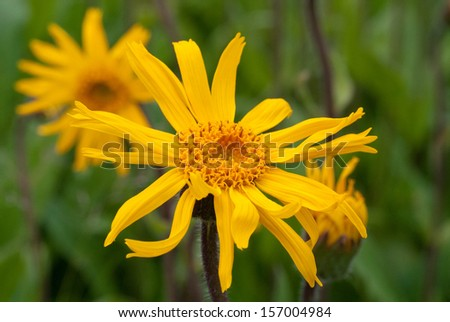Mountain arnica flower - stock photo