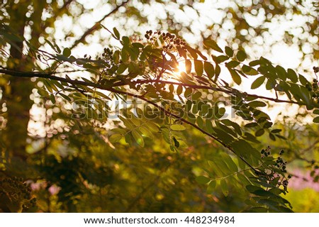 Mountain ash branches on sun background. Forest fairy tale. Vintage toning - stock photo