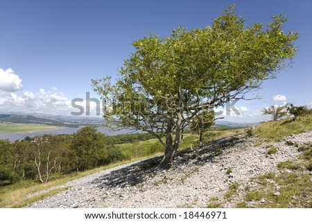 Mountain Ash tree on Arnside Knot with view of the Lake District