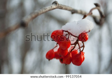 mountain ash winter - stock photo