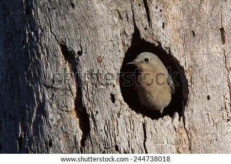 Mountain Bluebird, Sialia currucoides, female at nest hole at a cavity in a Ponderosa Pine tree in the Cascade Mountains, Washington State; Pacific Northwest birding and wildlife  - stock photo