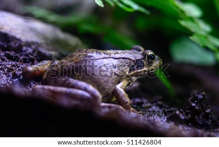 mountain brown frog (Rana ornativentris) close view in mount takao, japan