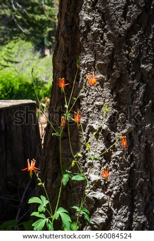 Mountain Columbine in sunshine backed by the bark of a pine tree