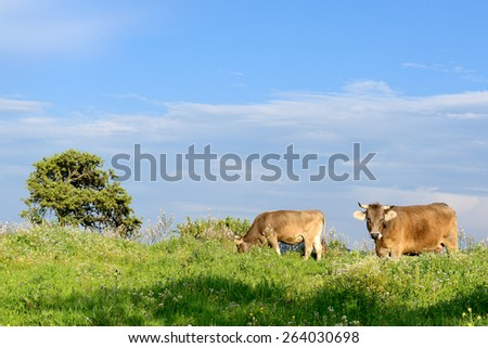 Mountain cows grazing in green meadow full of grass in the spring. - stock photo