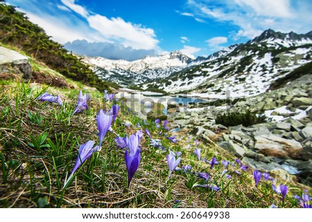 Mountain Crocuses on a Steep Slope by a Mountain Lake and Snowy Peaks - stock photo