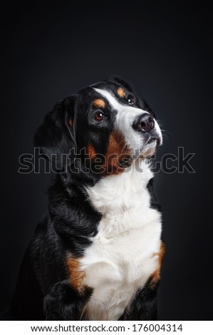 Mountain Dog on black background - stock photo