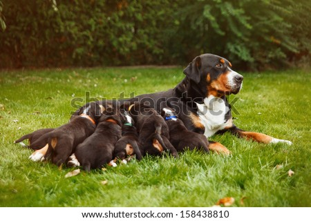 mountain dog puppies, female dog with puppies on the grass - stock photo