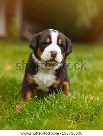 mountain dog puppy on the grass