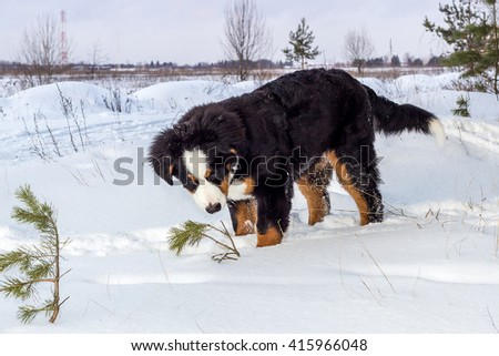 Mountain dog standing in the snow and smelling a little pine tree. - stock photo