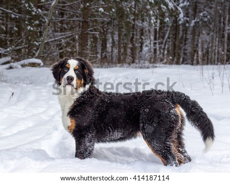 Mountain dog turned around and looks at the background of a winter forest. - stock photo