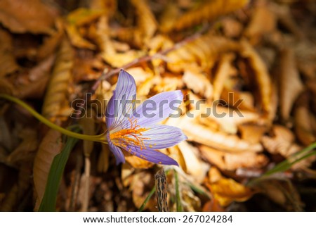 Mountain flower saffron in a ray of light - stock photo