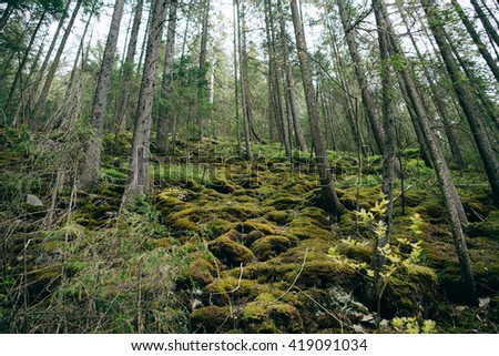 Mountain Forest.  Misty green pine forest  landscape. Travel - stock photo