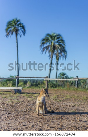 Mountain Fox on El Palmar National Park (Parque Nacional El Palmar), one of Argentina's national parks, on the center-west of the province of Entre Rios, between the cities of Colon and Concordia. - stock photo
