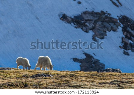 Mountain goat and its kid finding food near cliff - stock photo
