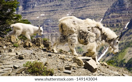 Mountain Goat and the Kid at Glacier National Park - stock photo