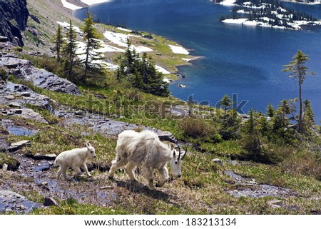 Mountain Goat Family seen in Rocky Mountains. - stock photo