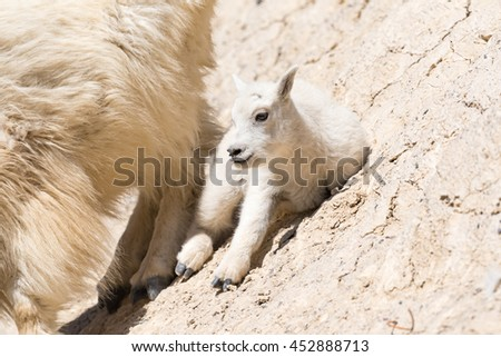 Mountain goat family with baby kid goat on a cliff side Jasper National Park Alberta Canada