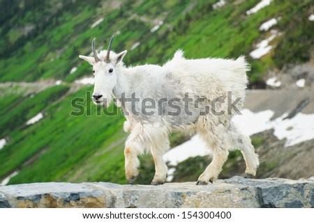 Mountain goat, Glacier National Park Montana USA - stock photo