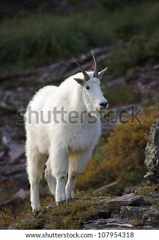 Mountain Goat in rocky alpine habitat, with interesting side-lighting - stock photo