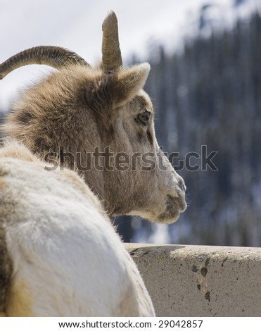 Mountain Goat in the Wilderness