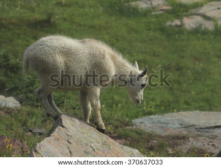 Mountain Goat (kid)